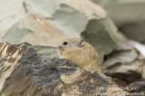 Ladakh Pika (Ochotona ladacensis)_Hemis NP (Ladakh)