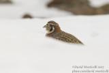 Tibetan Partridge (Perdix hodgsoniae)_Hemis NP (Ladakh)