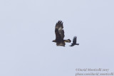 Golden Eagle (Aquila chrrysaetos)(subadult) & Red-billed Chough (Pyrrhocorax pyrrhocorax)_Hemis NP (Ladakh)