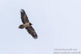 Bearded Vulture (immature)_Hemis NP (Ladakh)