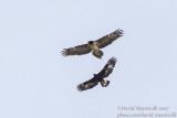 Golden Eagle (Aquila chrrysaetos)(subadult) & Bearded Vulture (immature)_Hemis NP (Ladakh)