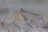 Streaked Rosefinch (Carpodacus rubicilloides)_Rumbak village_Hemis NP (Ladakh)