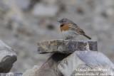 Robin Accentor (Prunella rubeculoides)_Rumbak village_Hemis NP (Ladakh)