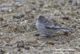 Brandt's Mountain Finch (Leucosticte brandti)_Rumbak village_Hemis NP (Ladakh)