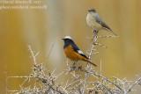 Güldenstädt's Redstarts (Phoenicurus erythrogaster)_Indus River near Leh (Ladakh)