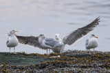 Glaucous-winged Gull (Larus glaucescens)(adult) with HG & GBBG_Castletownbere, Co. Cork (Ireland)