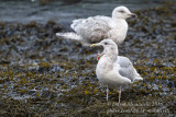 Glaucous-winged Gull (Larus glaucescens)(adult)_Castletownbere, Co. Cork (Ireland)