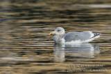 Glaucous-winged Gull (Larus glaucescens)(adult)_Castletownbere, Co. Cork (Ireland)