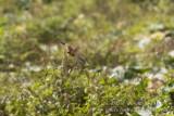 Small Button-quail (Turnix sylvatica)_Oualidia, Casablanca (Morocco)
