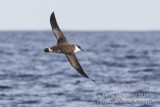 Great Shearwater (Puffinus gravis)_Bank of Fortune (Graciosa)