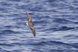 Monteiro's Storm-petrel (Oceanodroma monteiroi)_Bank of Fortune (Graciosa)
