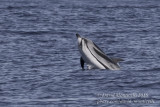 Striped Dolphin (Stenella coeruleoalba)_Bank of Fortune (Graciosa)