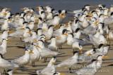 Royal Terns (Thallasseus maximus albidorsalis)_Bureh Beach, Freetown Peninsula (Sierra Leone)