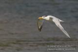 Royal Tern (Thallasseus maximus albidorsalis)_Bureh Beach, Freetown Peninsula (Sierra Leone)