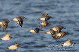 Red-necked Stint (Calidris ruficollis)(1st winter) with Dunlins_Vejbystrand, Skane (Sweden)