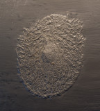 Plectodiscus discoideus, 5 cm, Bundenbach