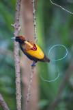 Papua Birds