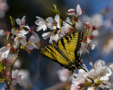 Spring Swallowtail on a Cherry Blossom