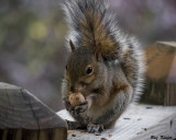 Squirrel On Deck With Hickory Nut