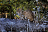 Bobcat on a Log-Cades Cove