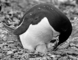Penguin with chick b-w