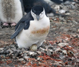 Penguin with egg