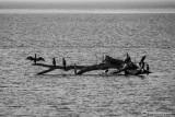 Cormorani al Pian di Spagna-Lago di Como
