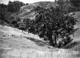 Valley Oak In Ravine