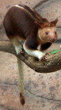 Kangourou arboricole
