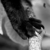 Chat noir (détail)