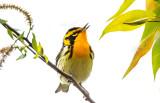 Blackburnian Warbler, Magee Marsh, Ohio