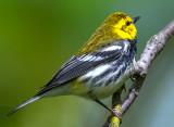Black-throated Green Warbler, Magee Marsh, Ohio