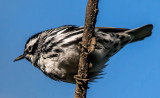 Black-and-White Warbler, Magee Marsh, Ohio