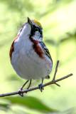 Chestnut-sided Warbler, Magee Marsh, Ohio