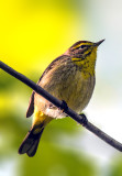 Palm Warbler, Magee Marsh, Ohio