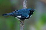 Black-throated Blue Warbler, Magee Marsh, Ohio