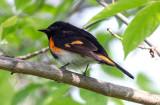 American Redstart, Magee Marsh, Ohio