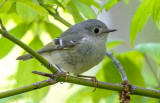 Ruby-crowned Kinglet, Magee Marsh, OH