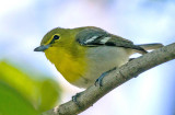 Yellow-throated Vireo, Magee Marsh, OH