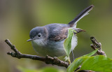 Blue-gray Gnatcatcher, Magee Marsh, OH