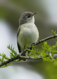 Warblng Vireo, Magee Marsh, OH