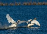 Trumpeter Swans fighting, Ottawa National Wildlife Refuge, OH