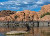 Cormorants at Watson Lake, AZ