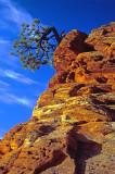 Ponderosa growing out of Navajo Sandstone, Zion National Park, UT