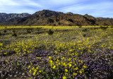 2016 Super Bloom in Death Valley National Park, CA