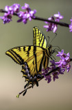 Tiger Swallowtail Butterfly, Cottonwood, AZ