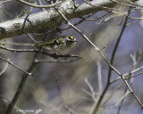 Golden-crowned Kinglet hunting insects during spring migration.