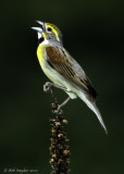 Dickcissel (male I) singing on dead mullein plant.