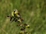 dickcissel male IV on territorial perch