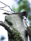 Male GCFC bringing a moth to the fledglings (note upper part of trunk hanging to right.)